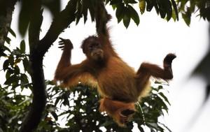 Wildlife of the Leuser Eco System in Sumatra, Indonesia